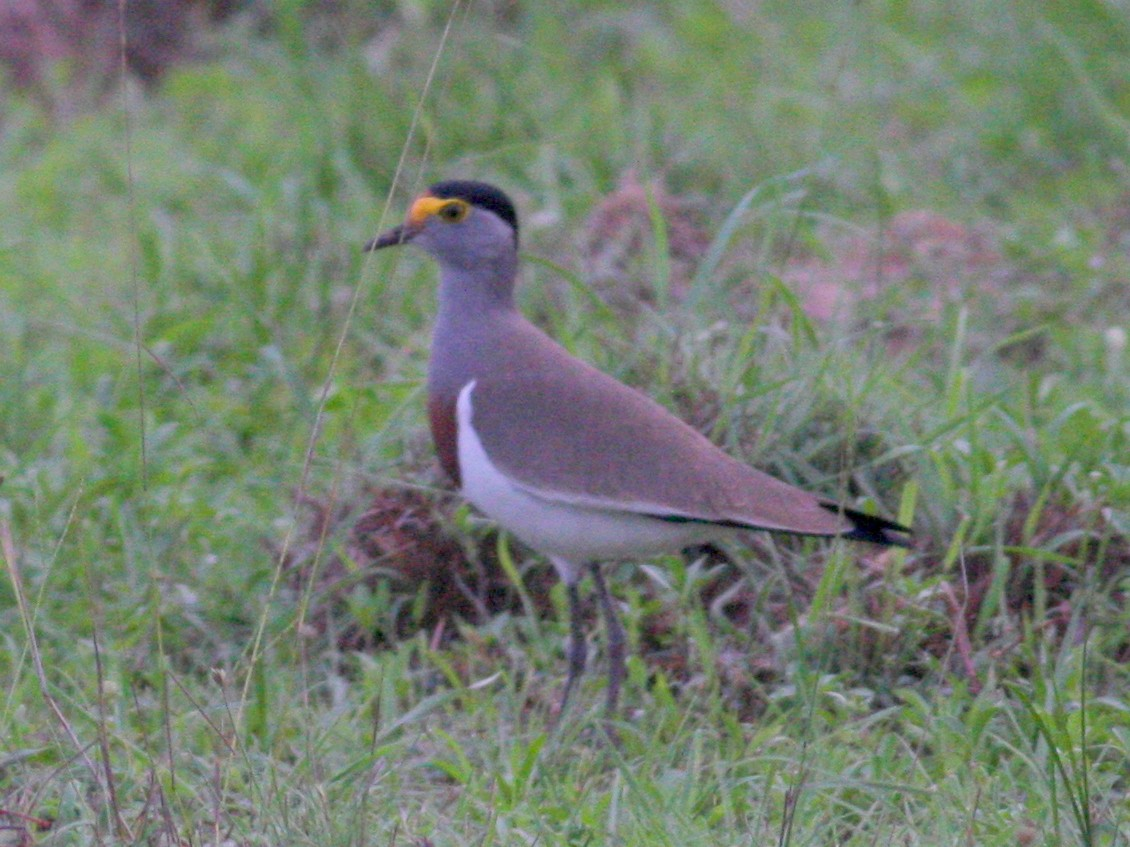 Brown-chested Lapwing - Nate Swick