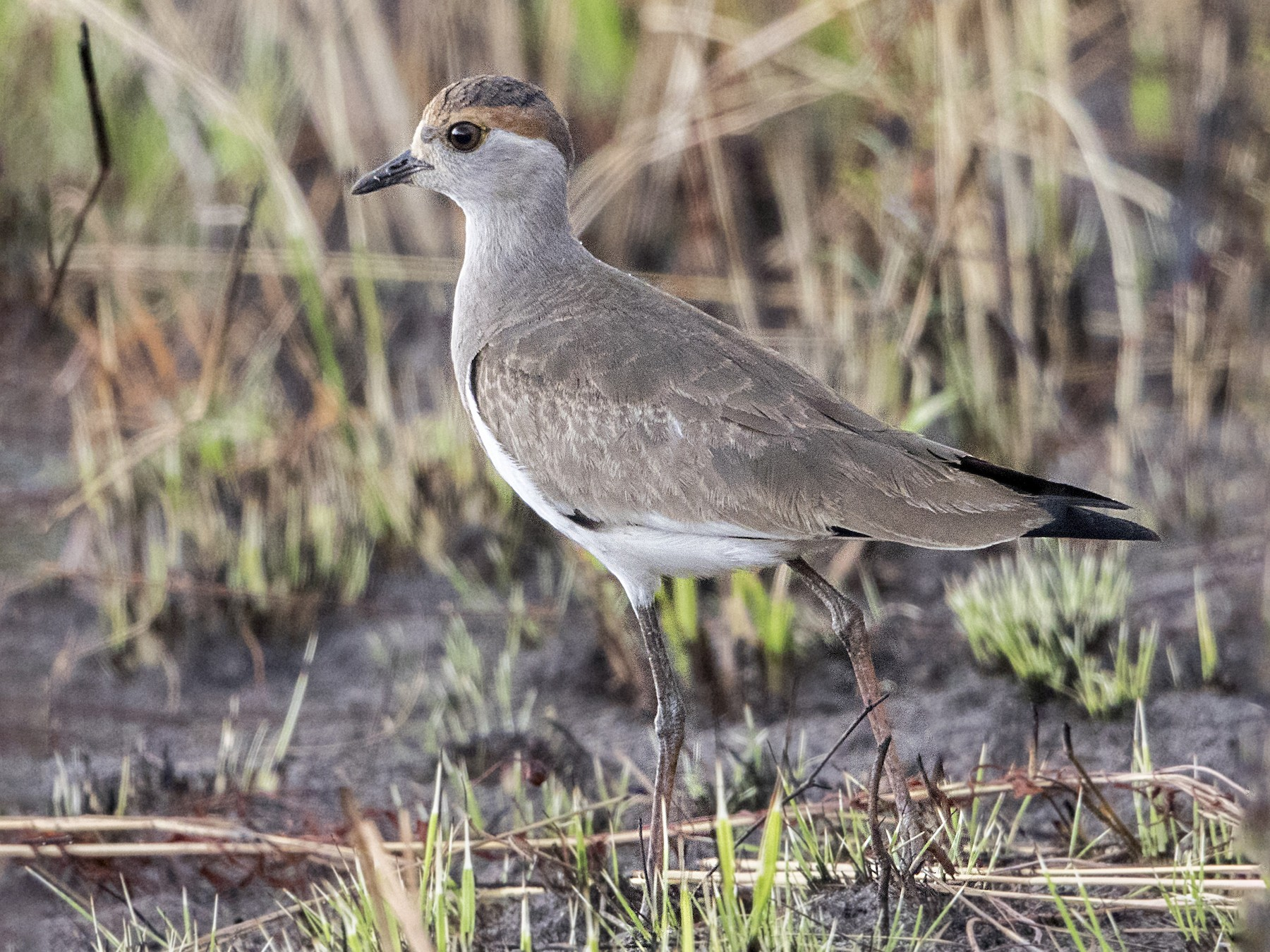 Brown-chested Lapwing - Bradley Hacker