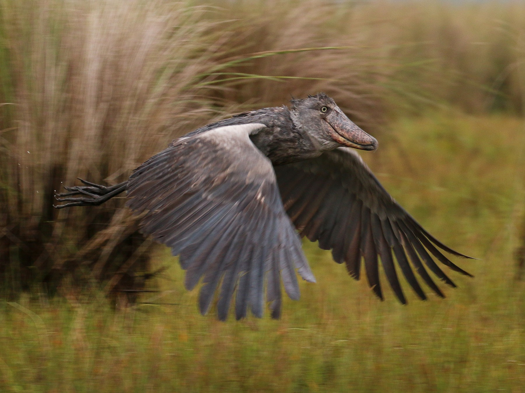 Shoebill - Tommy Pedersen