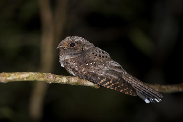 Ocellated Poorwill