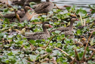 - Red-billed Duck