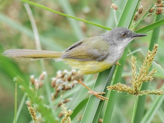 - Yellow-bellied Prinia (Yellow-bellied)