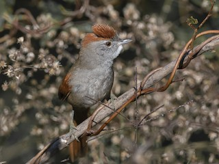 - Sooty-fronted Spinetail