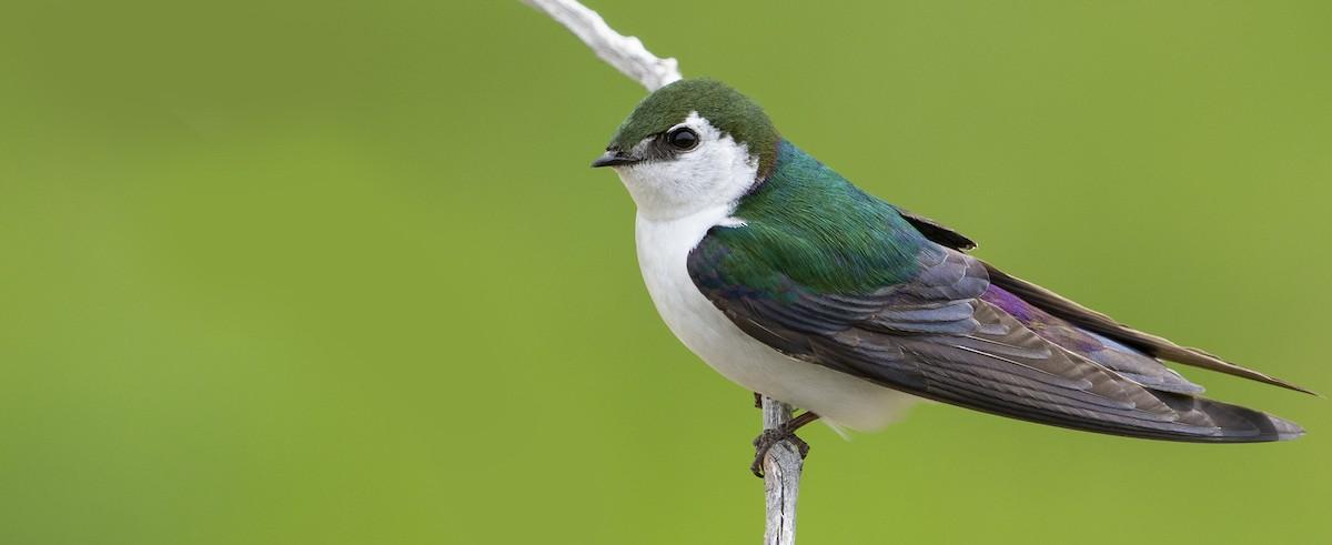 Birds Of The World Cornell Lab Of Ornithology
