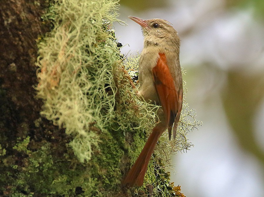 Crested Spinetail - Lorenzo Calcaño