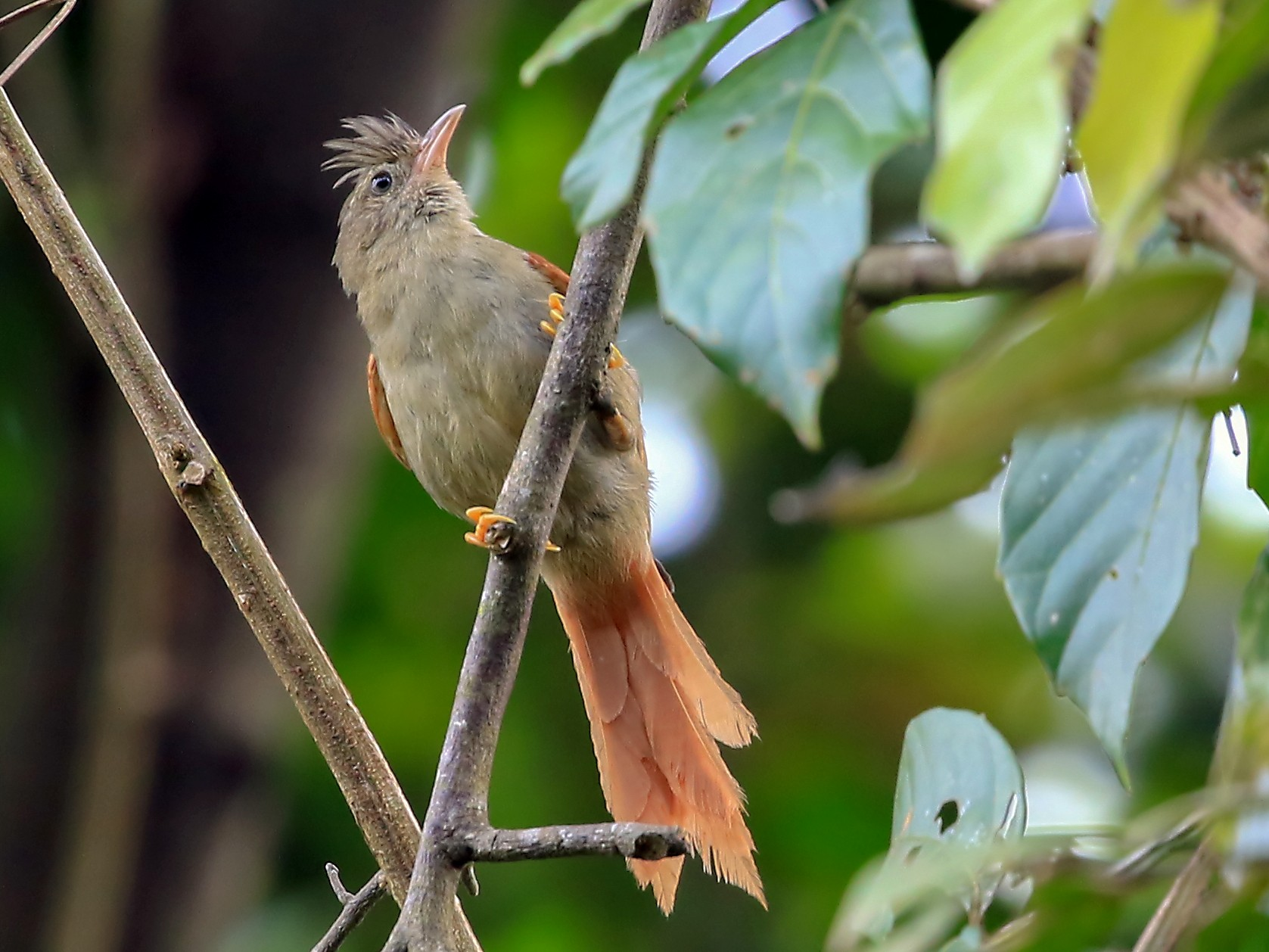 Crested Spinetail - Phillip Edwards