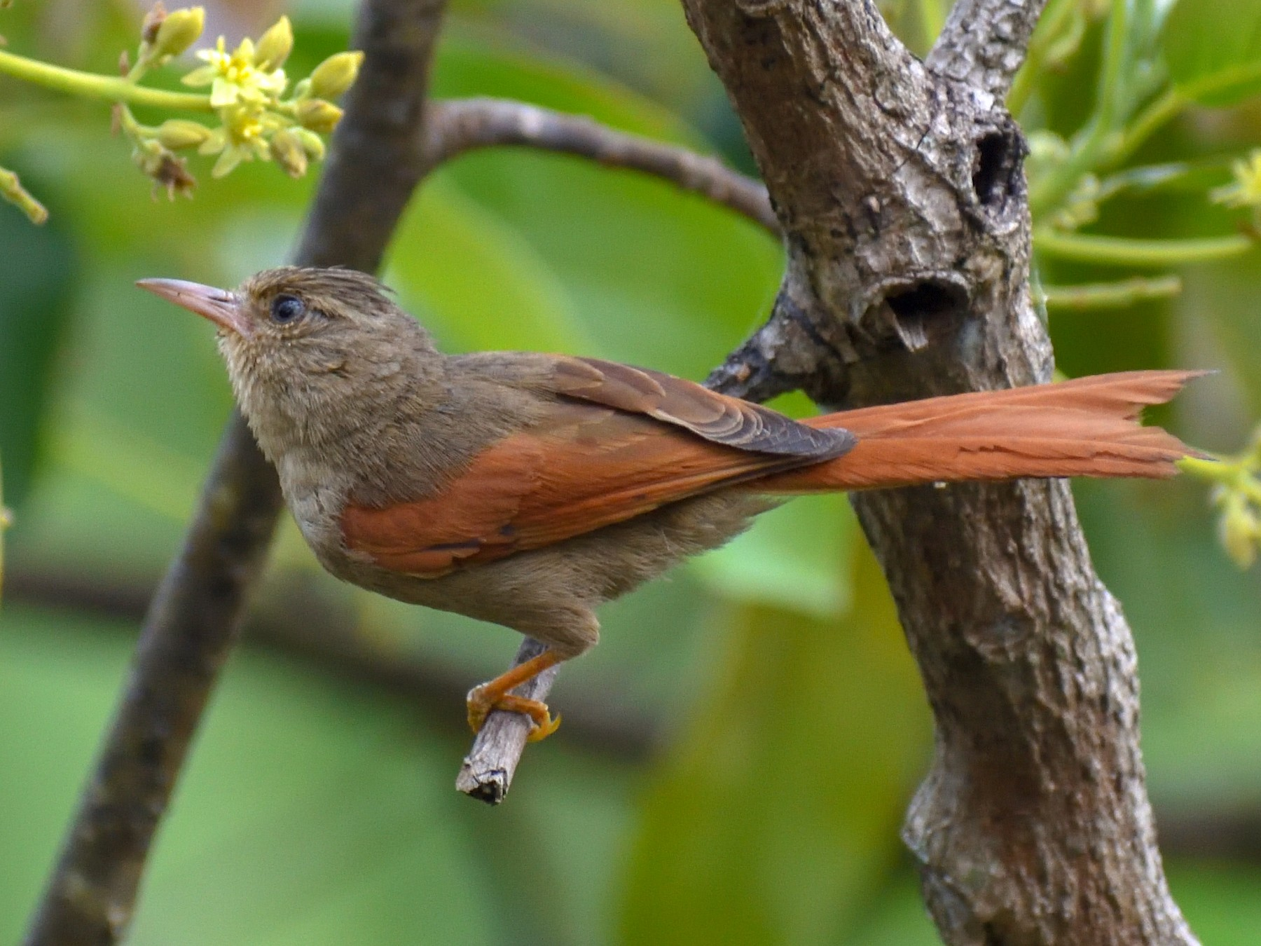 Crested Spinetail - Daniel Flores
