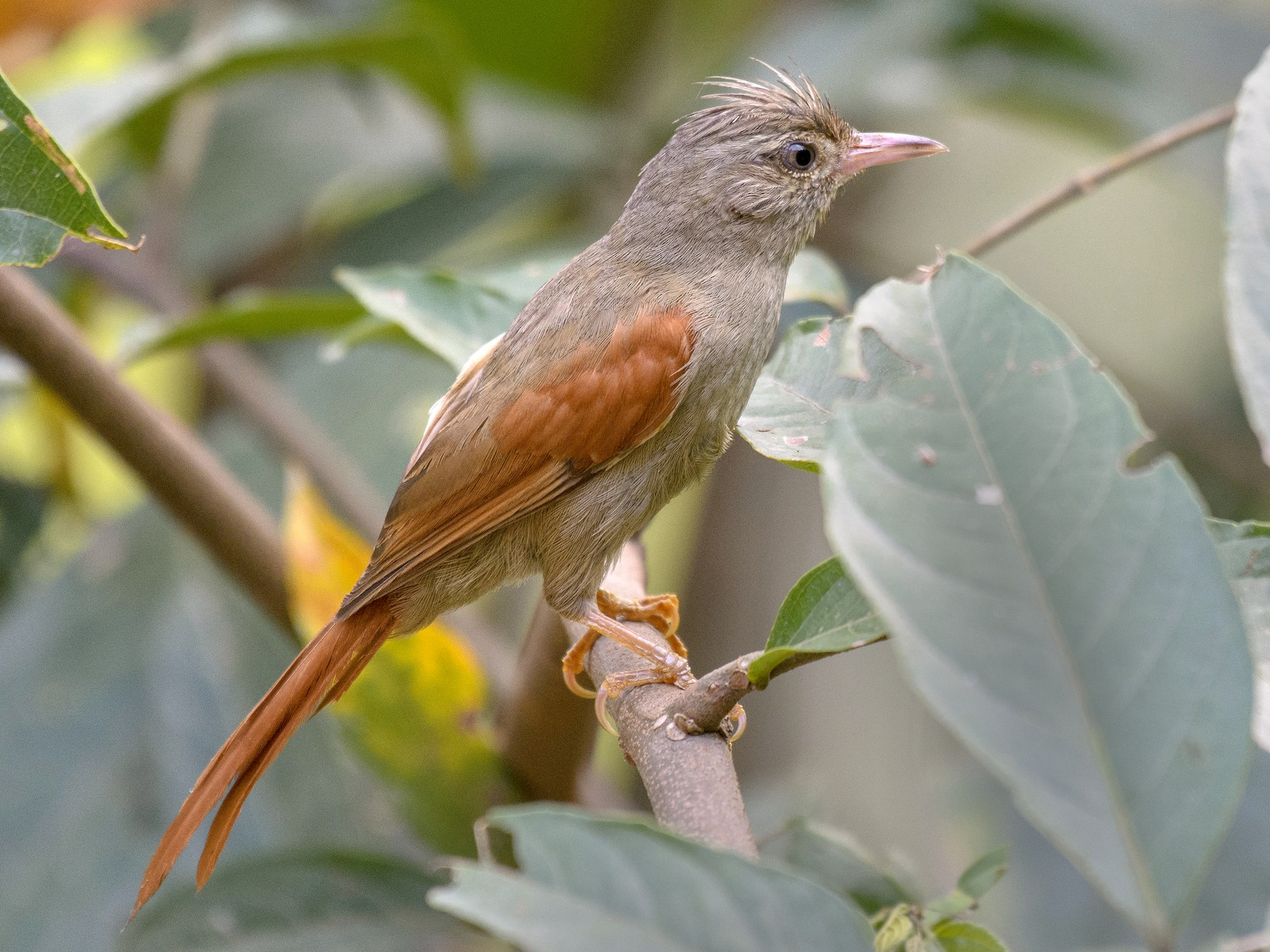 Crested Spinetail - Anthony Kaduck