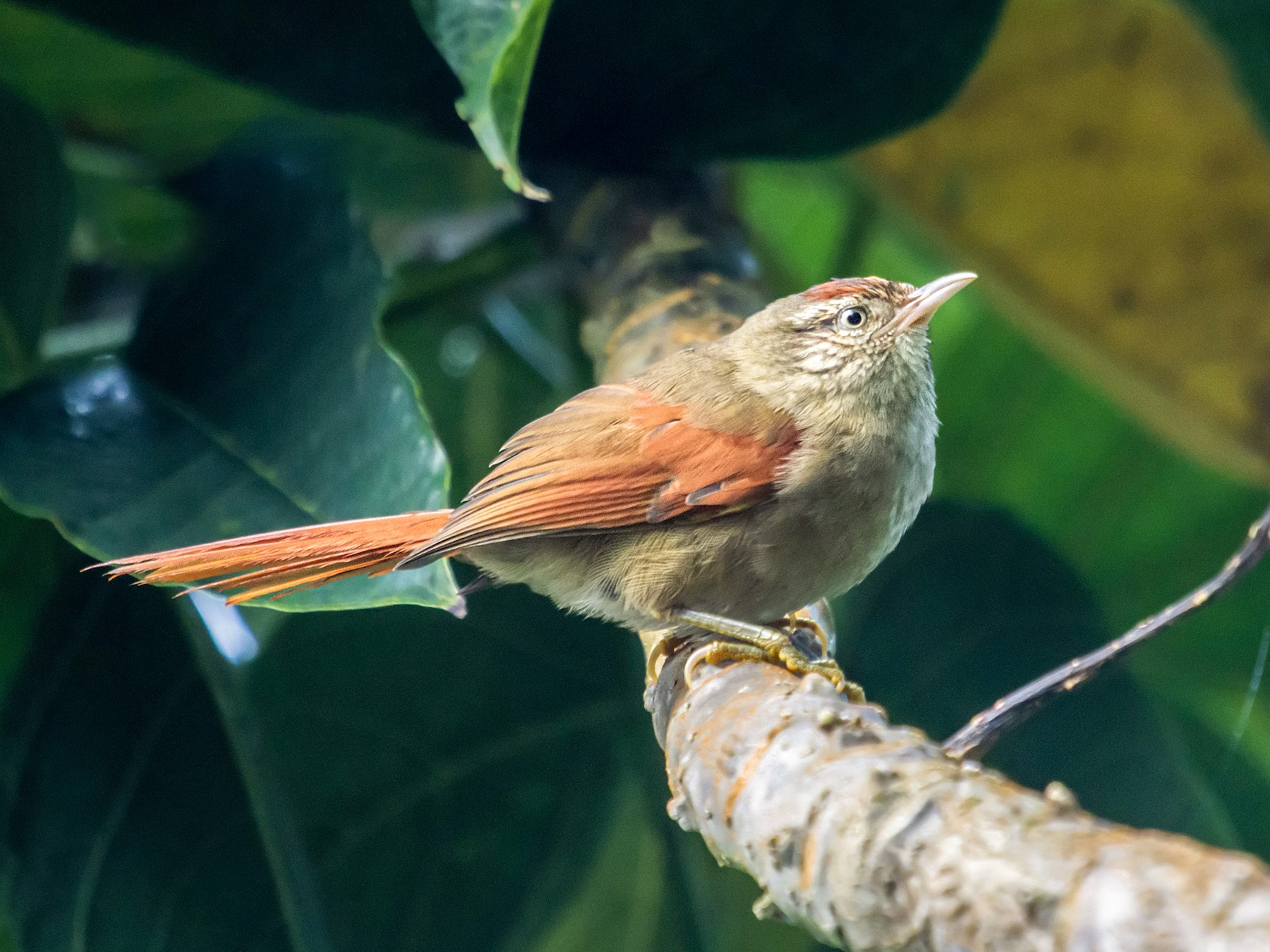 Streak-capped Spinetail - Nick Athanas