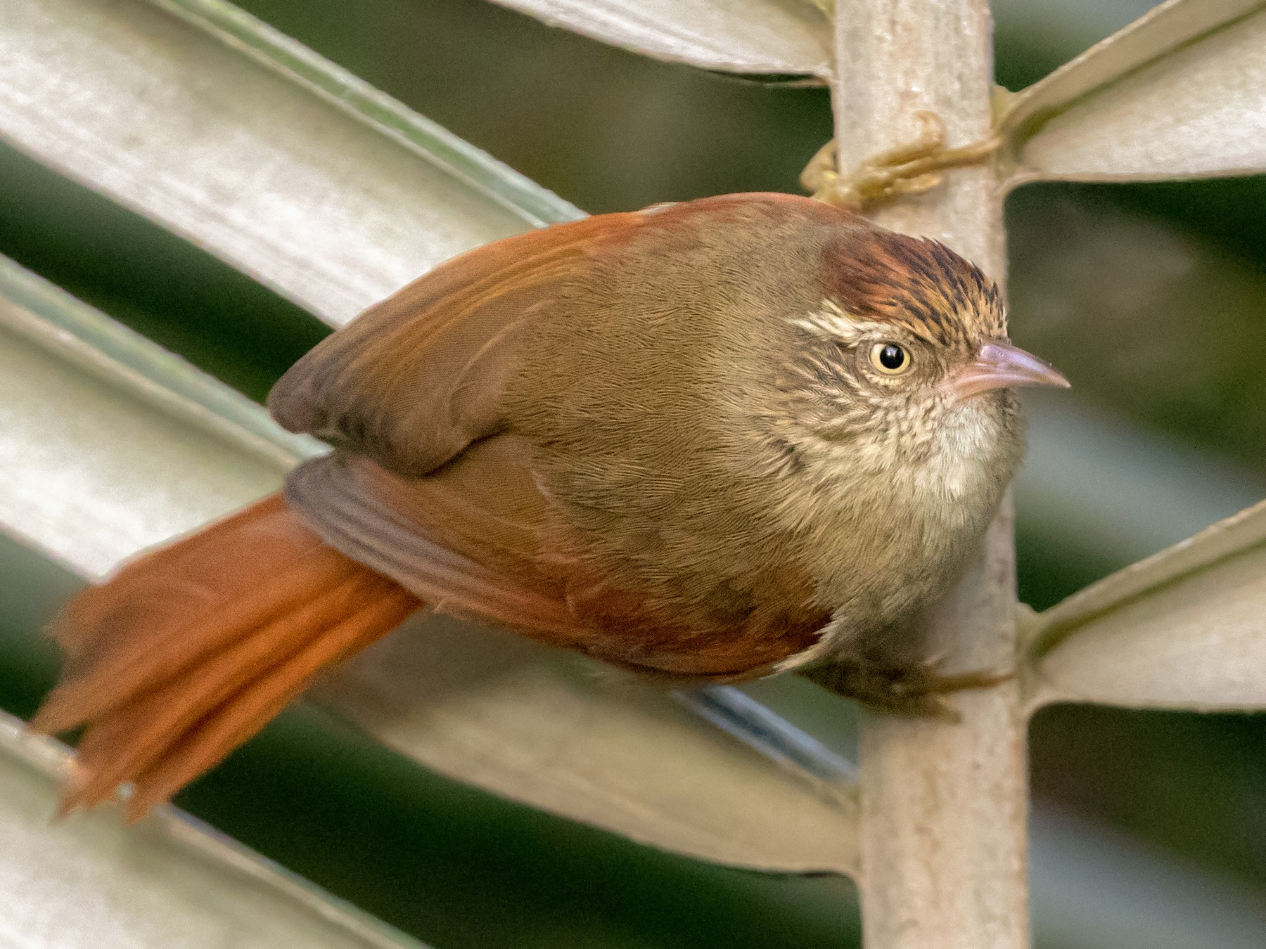 Streak-capped Spinetail - Cory Gregory