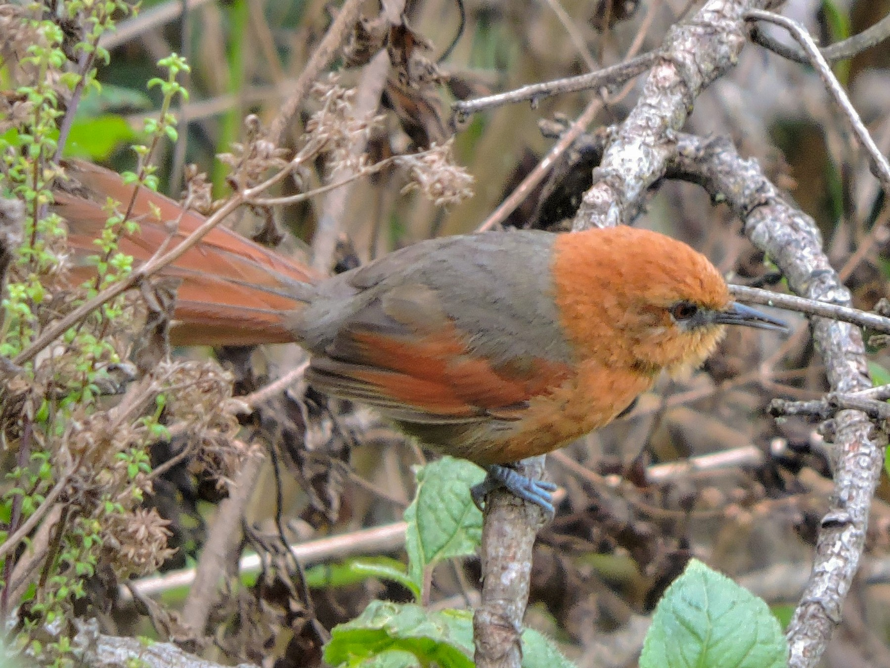 Rusty-headed Spinetail - Michael Clay