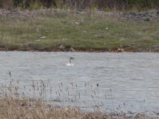 Trumpeter Swan, ML241304831