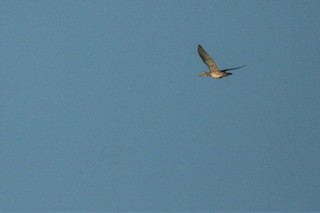 Wood Duck, ML241340341