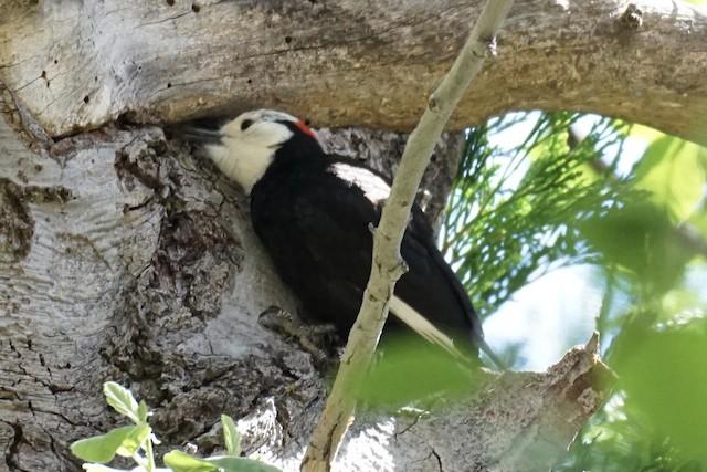 White-headed Woodpecker foraging.