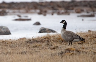 Cackling Goose, ML241641591