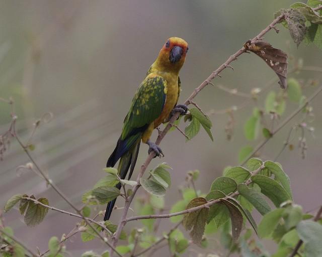 ©Silvia Faustino Linhares - Sulphur-breasted Parakeet