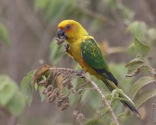 - Sulphur-breasted Parakeet