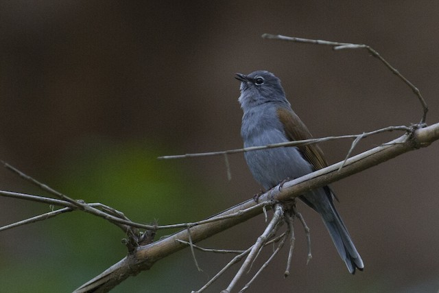 Brown-backed Solitaire