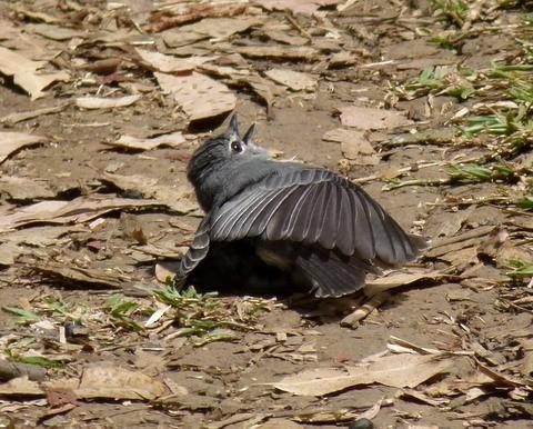 Ashy Flycatcher presumably sunbathing.
