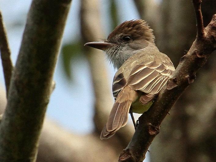 Venezuelan Flycatcher - Margareta Wieser