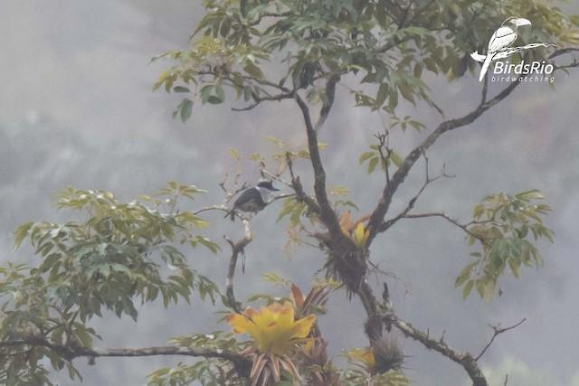 Buff-bellied Puffbird