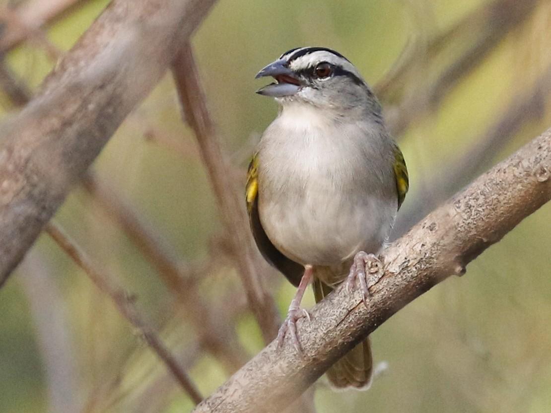 Tocuyo Sparrow - Matthew Grube