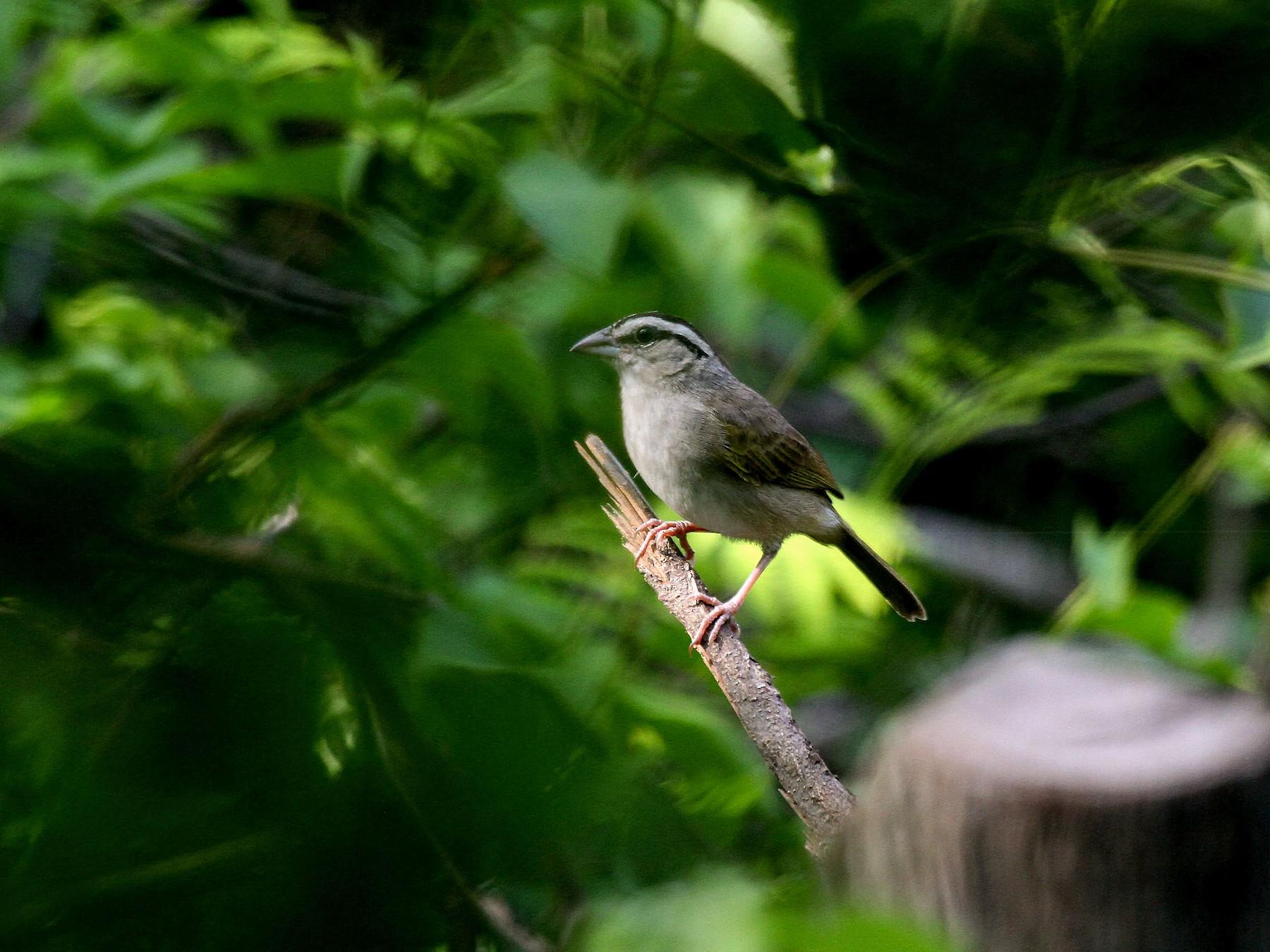 Tocuyo Sparrow - Eduardo Soler