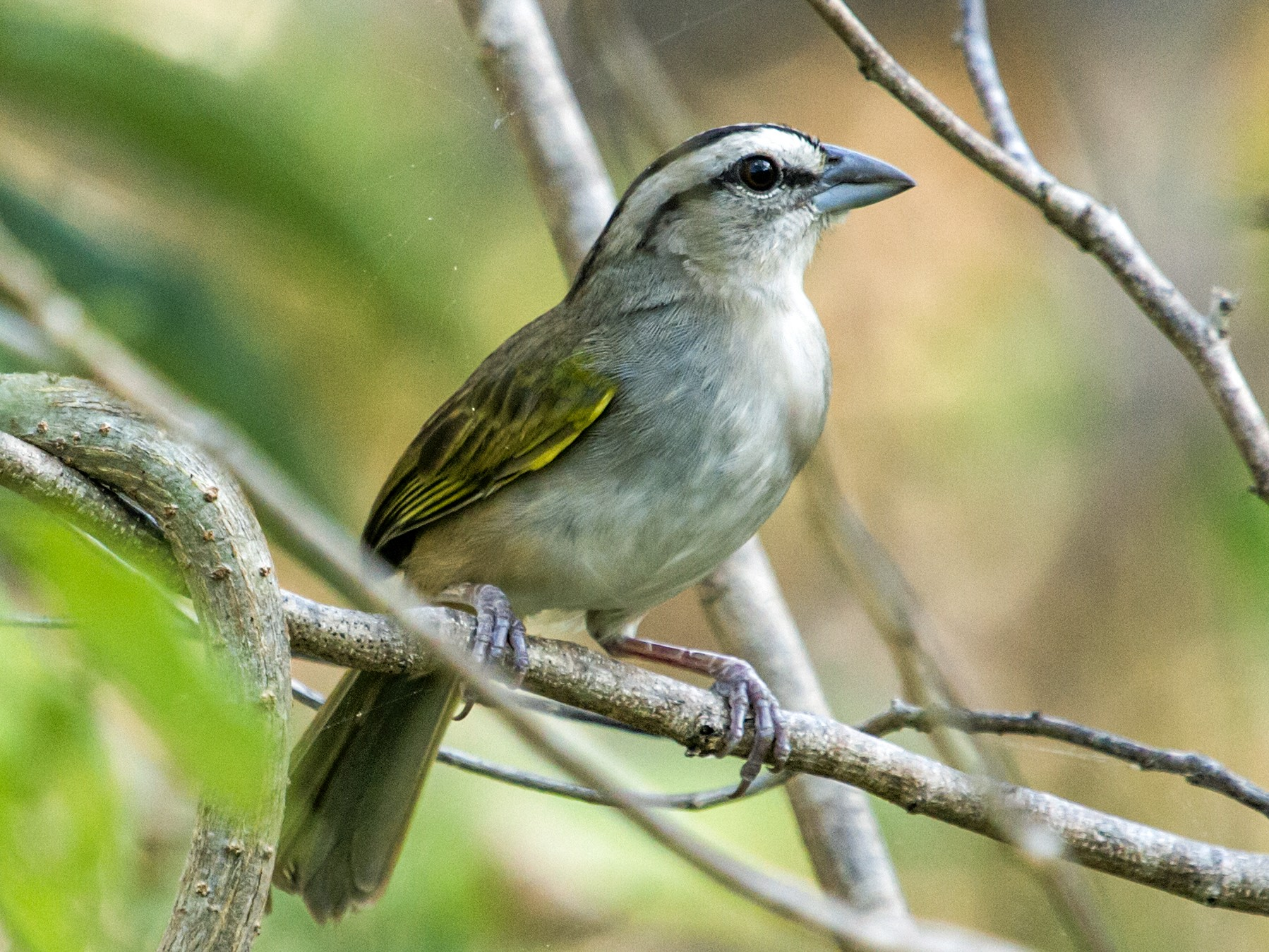 Tocuyo Sparrow - Nick Athanas