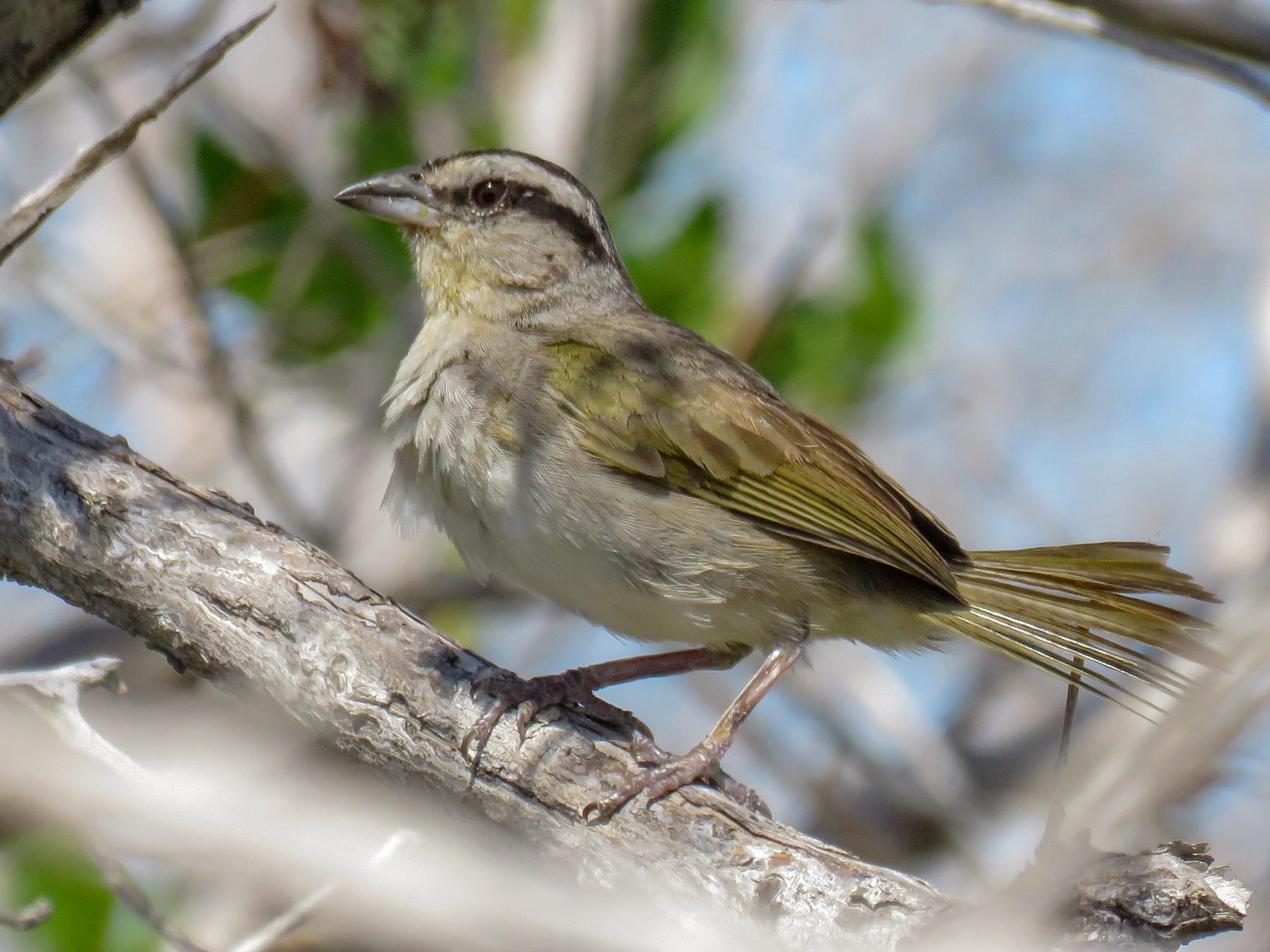 Tocuyo Sparrow - Juan López Z (www.colombiaeasytravels.com)