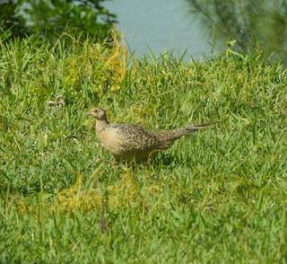 Ring-necked Pheasant, ML241929861