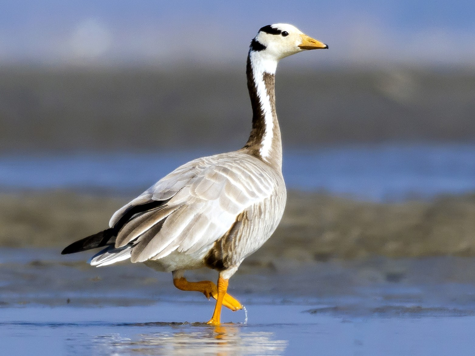 Bar-headed Goose - Asabul Islam