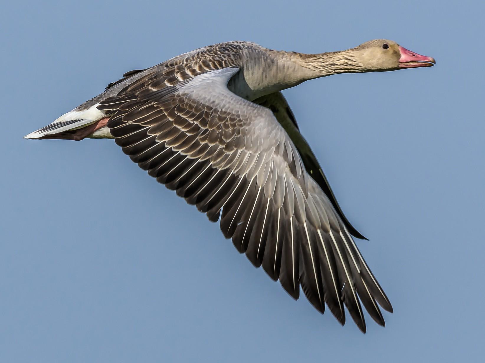 Graylag Goose - Nitin Chandra