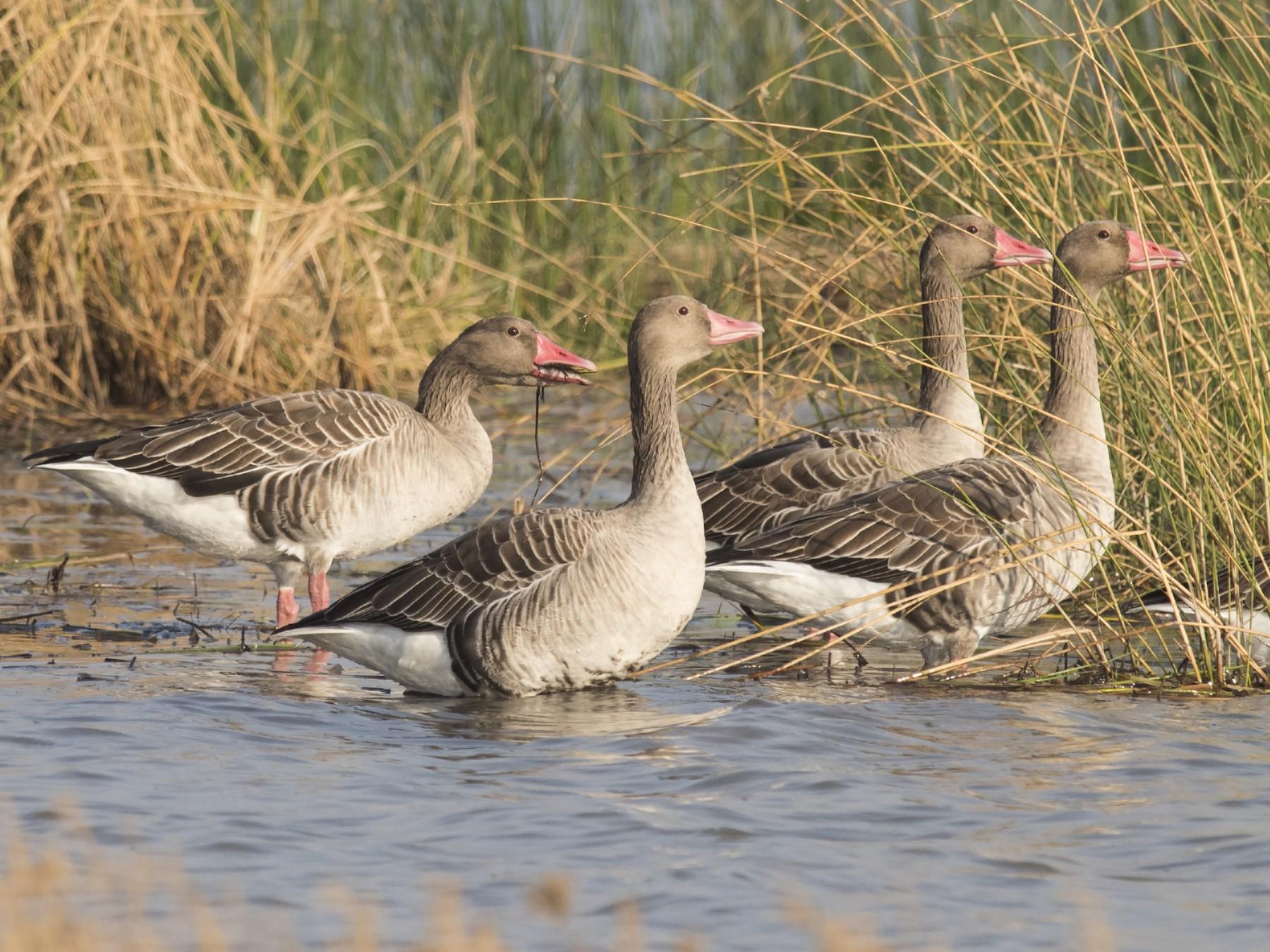 Graylag Goose - jaysukh parekh Suman
