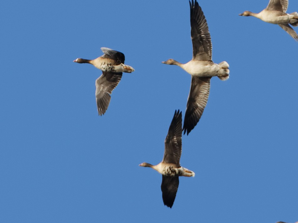 Lesser White-fronted Goose - Yan Shen