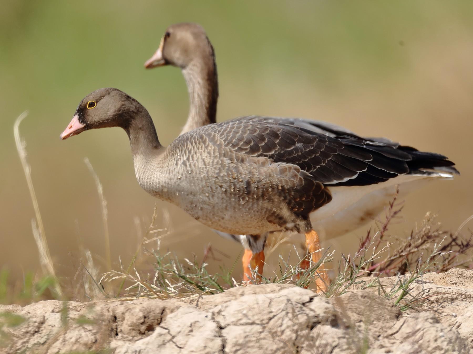 Lesser White-fronted Goose - 浙江 重要鸟讯汇整