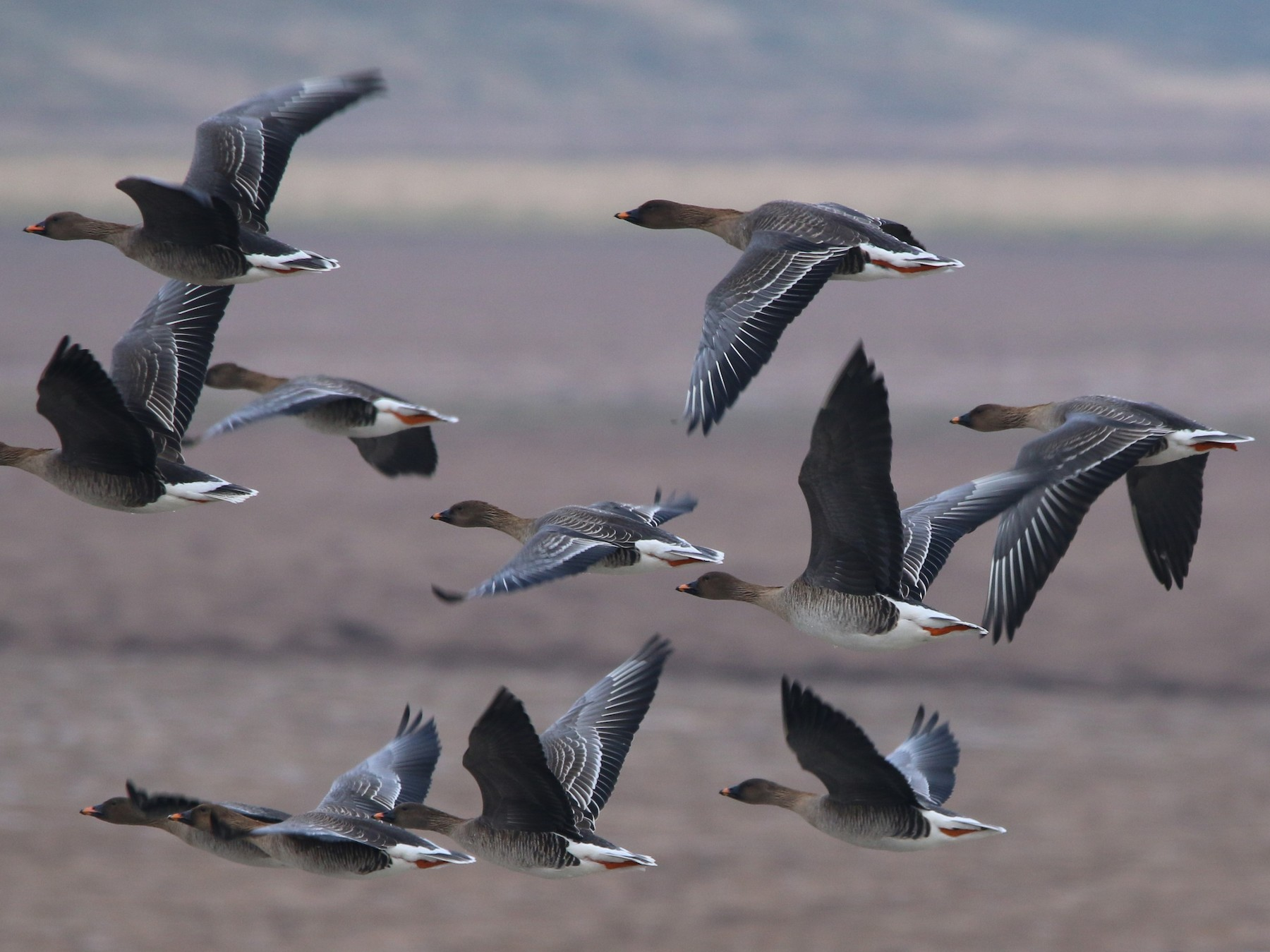 Tundra Bean-Goose - Wigbert Vogeley