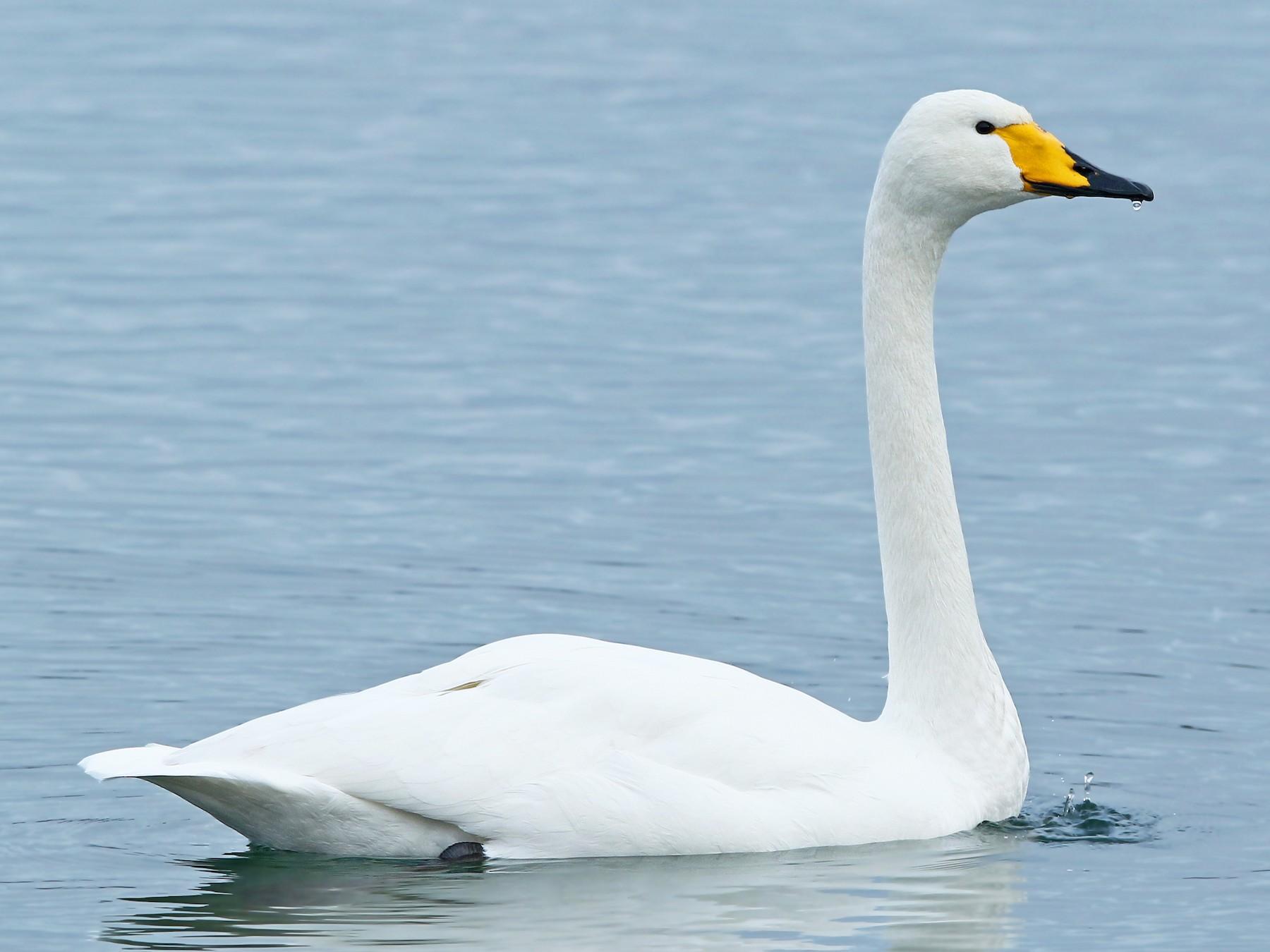 Whooper Swan - Volker Hesse