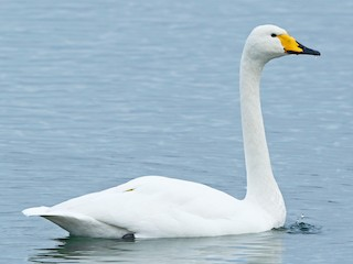 - Whooper Swan