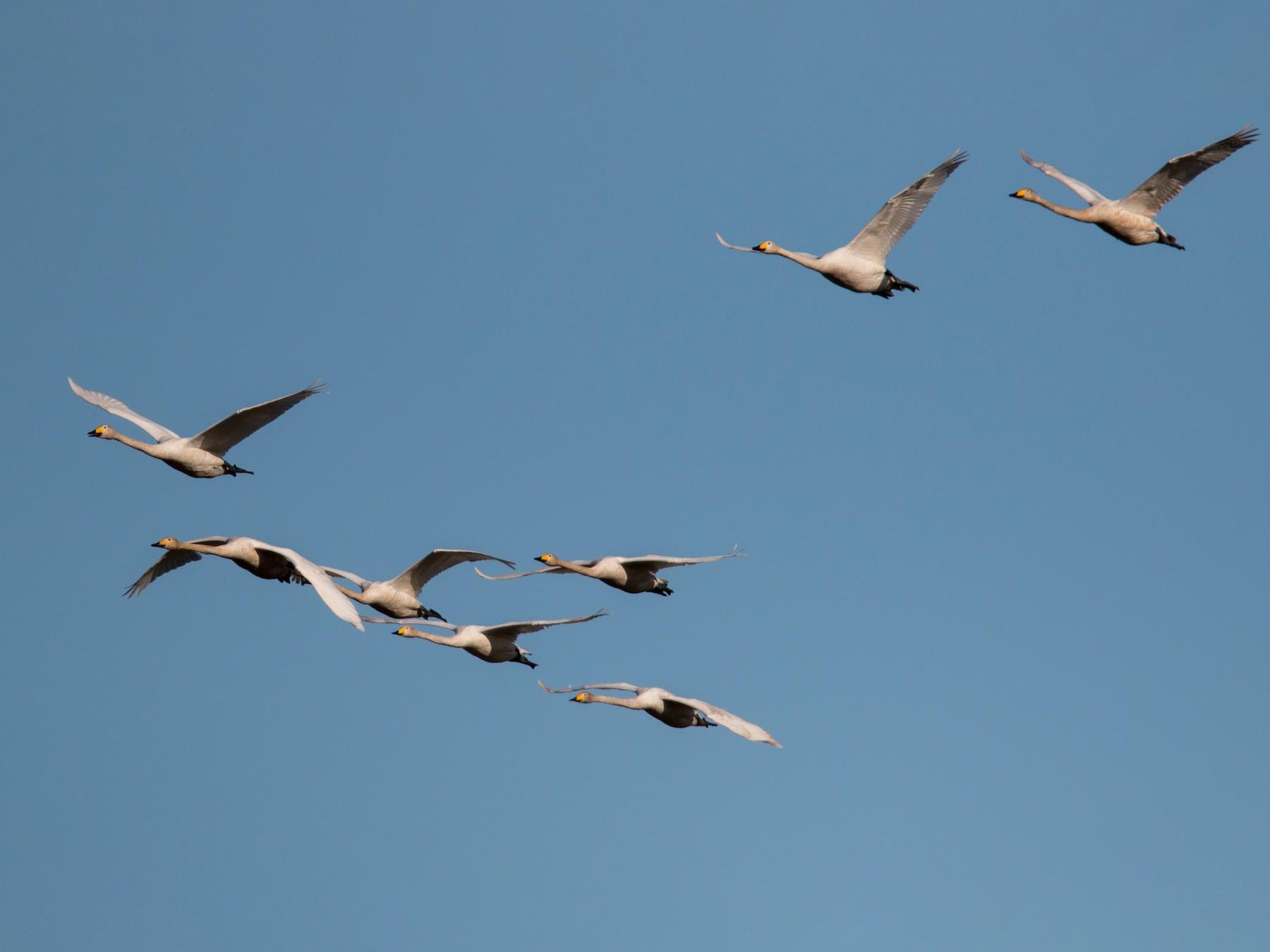 Whooper Swan - Ian Davies