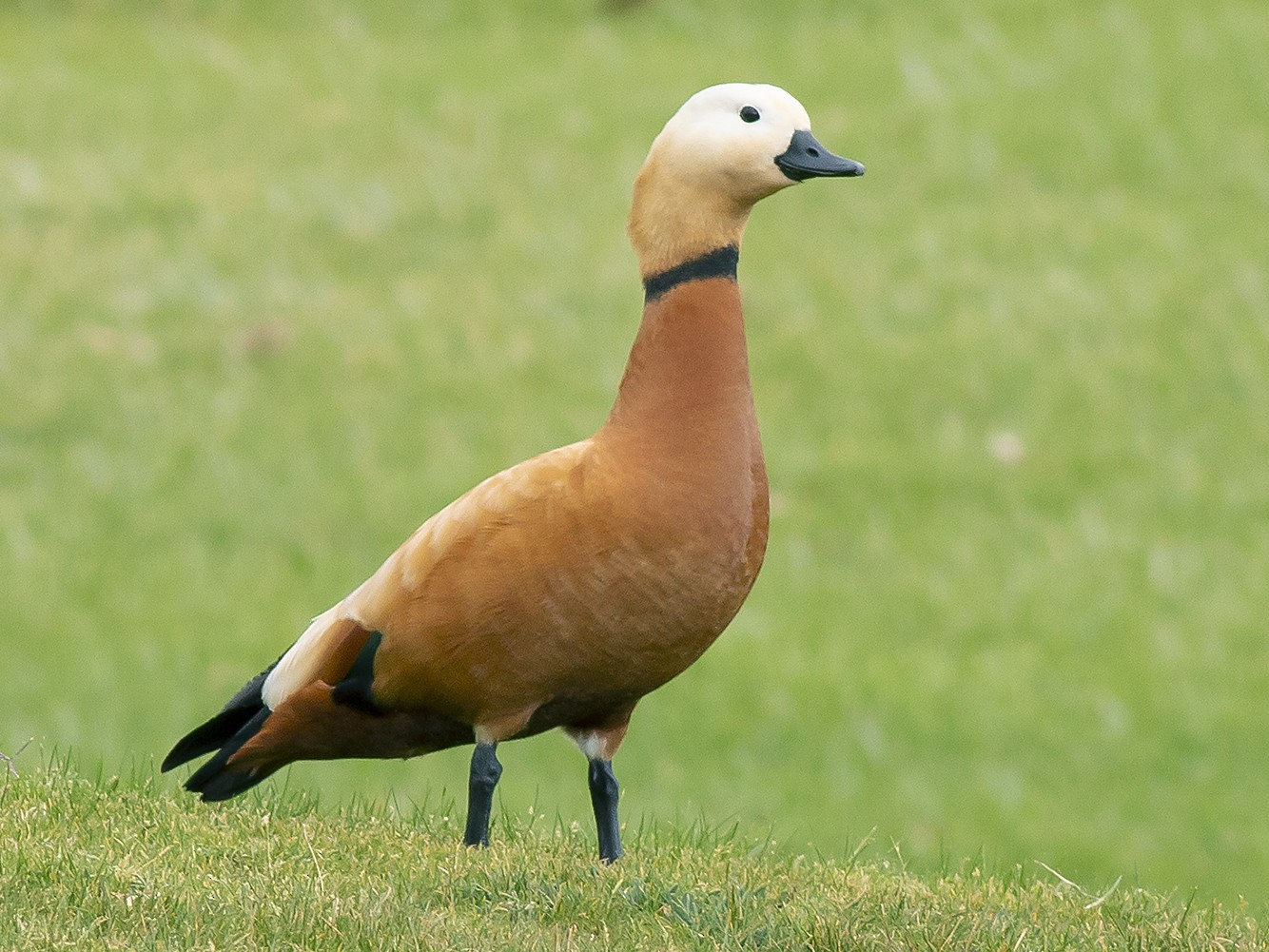 Ruddy Shelduck (Brahminy Duck) - Pablo Barrena