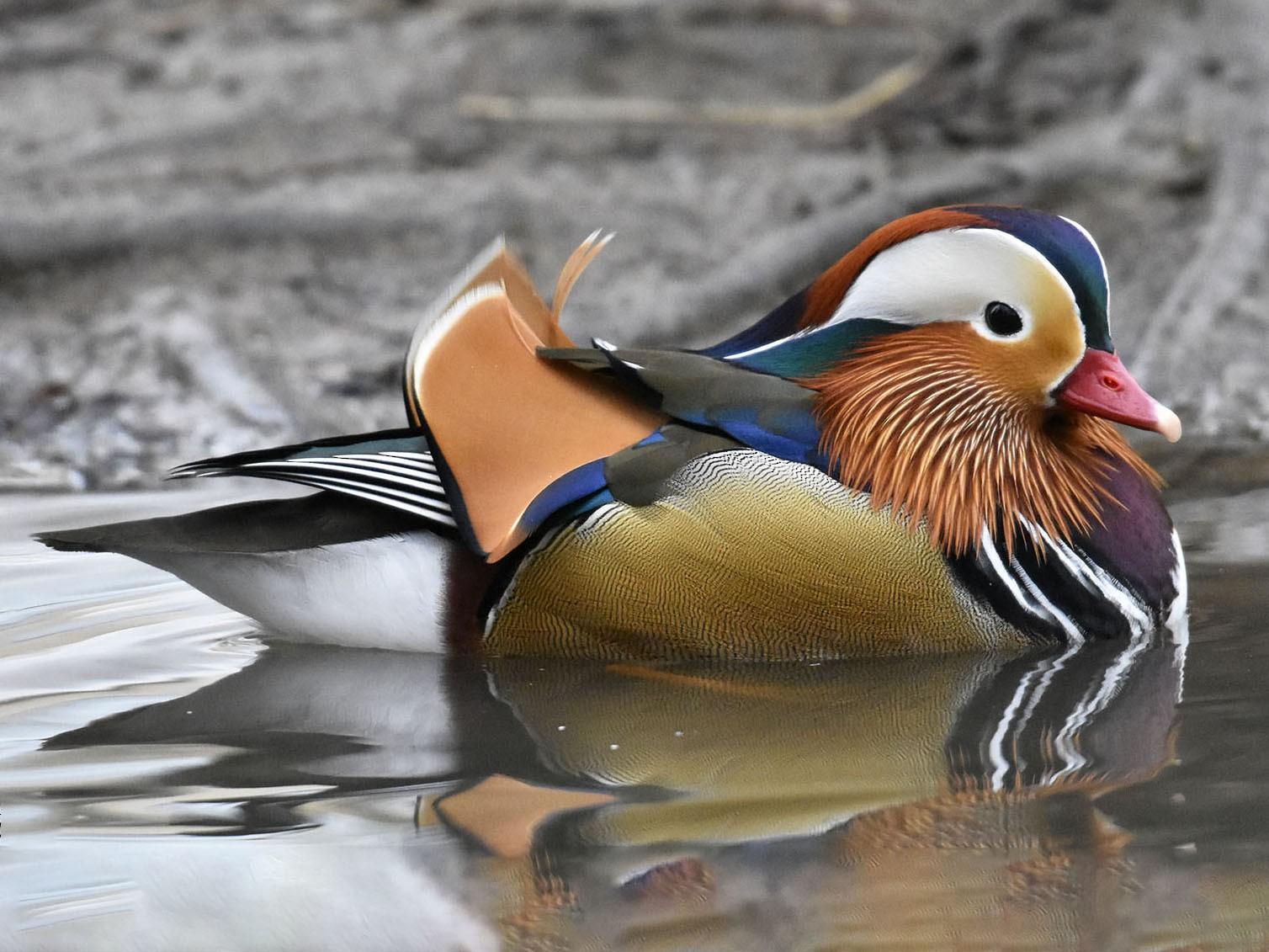 Mandarin Duck - Javier Pi Vallina