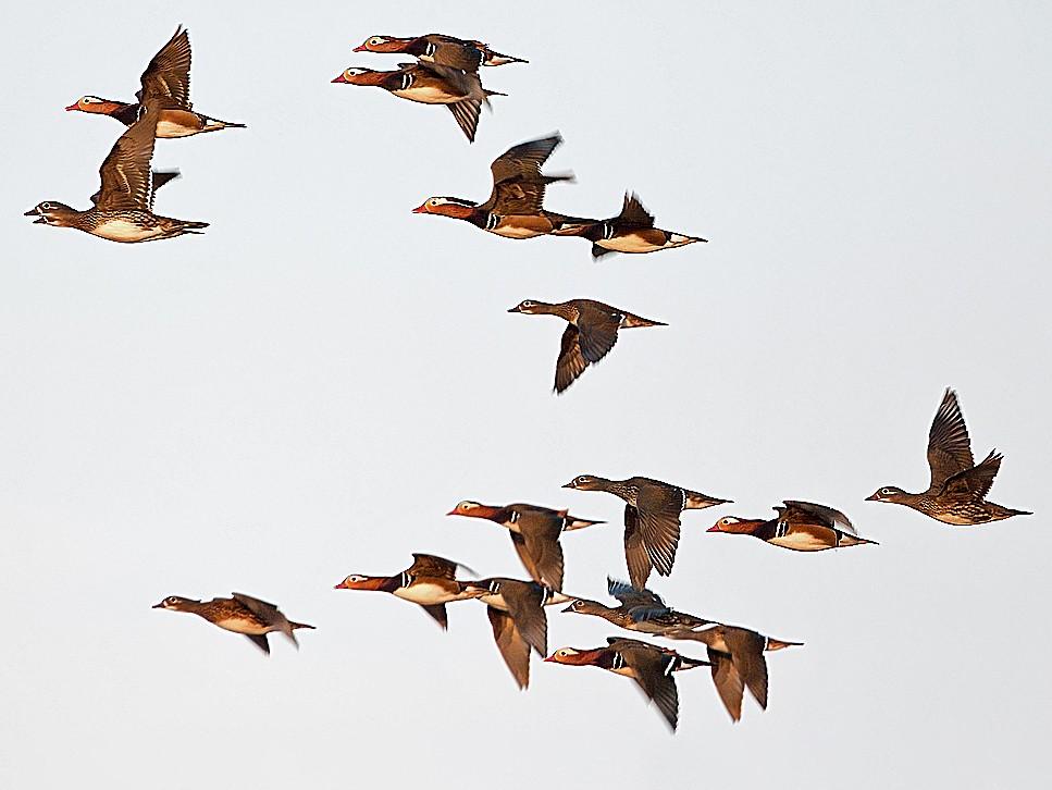 Mandarin Duck - Andrew Wilson