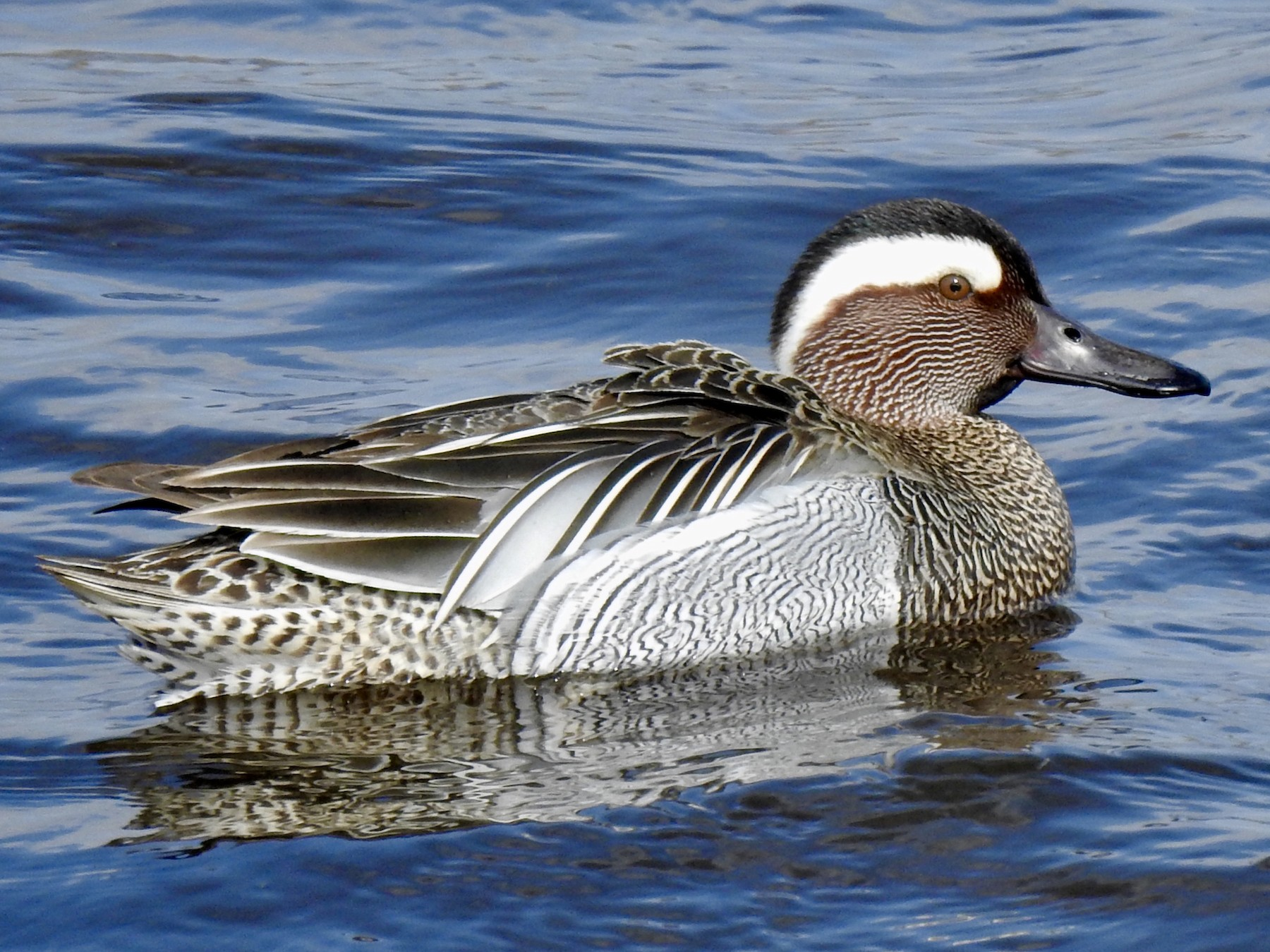 Garganey - David Ratcliffe