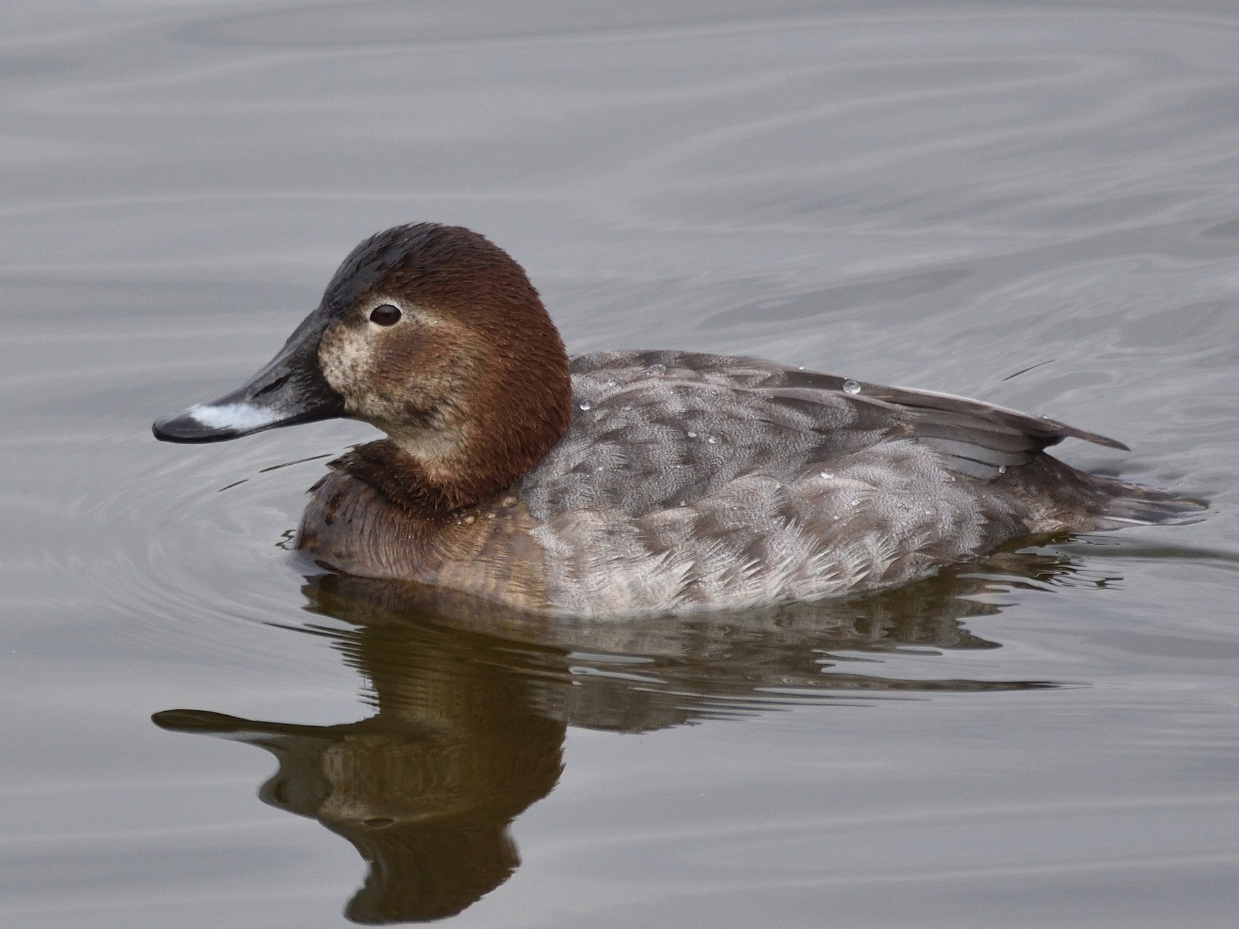 Common Pochard - Santiago Caballero Carrera