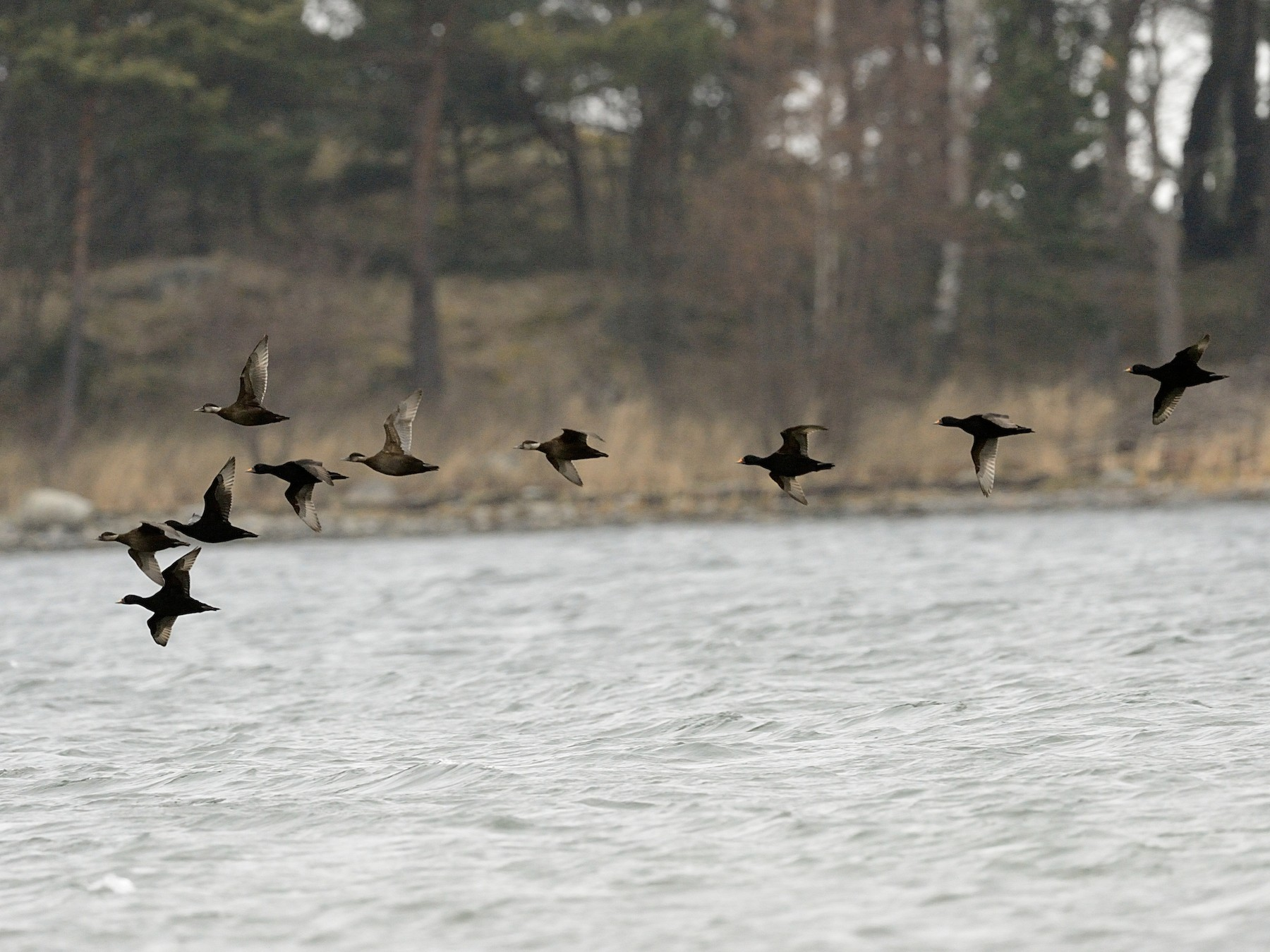 Common Scoter - Hans Norelius