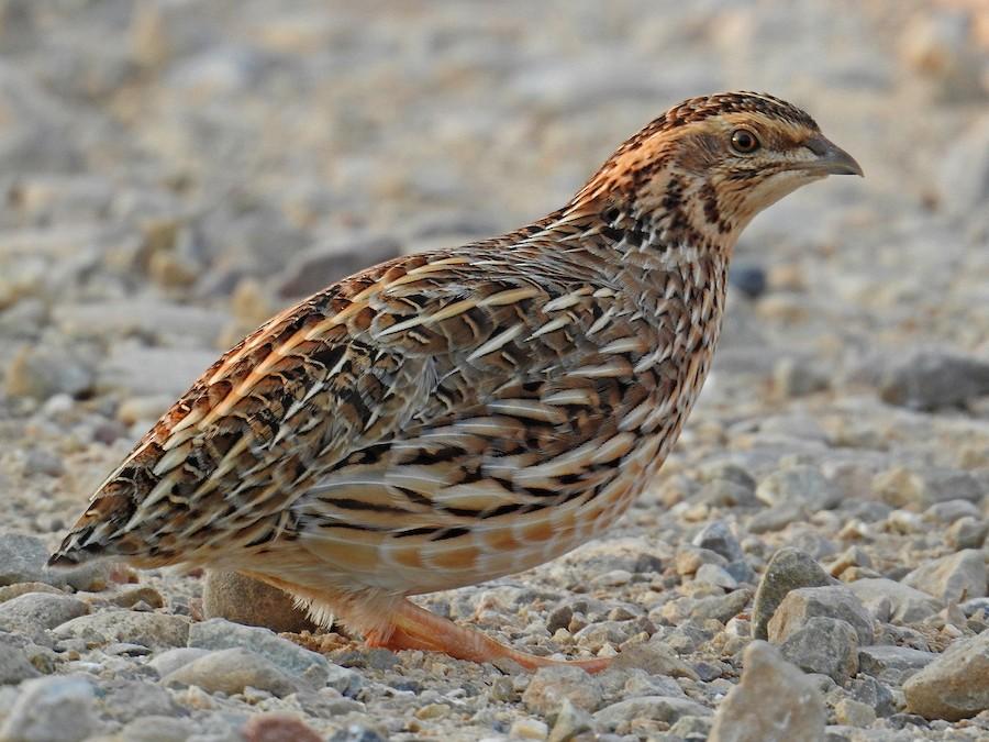 Common Quail - eBird