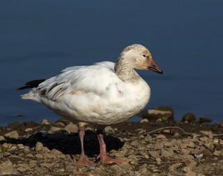 Snow Goose, ML24201741