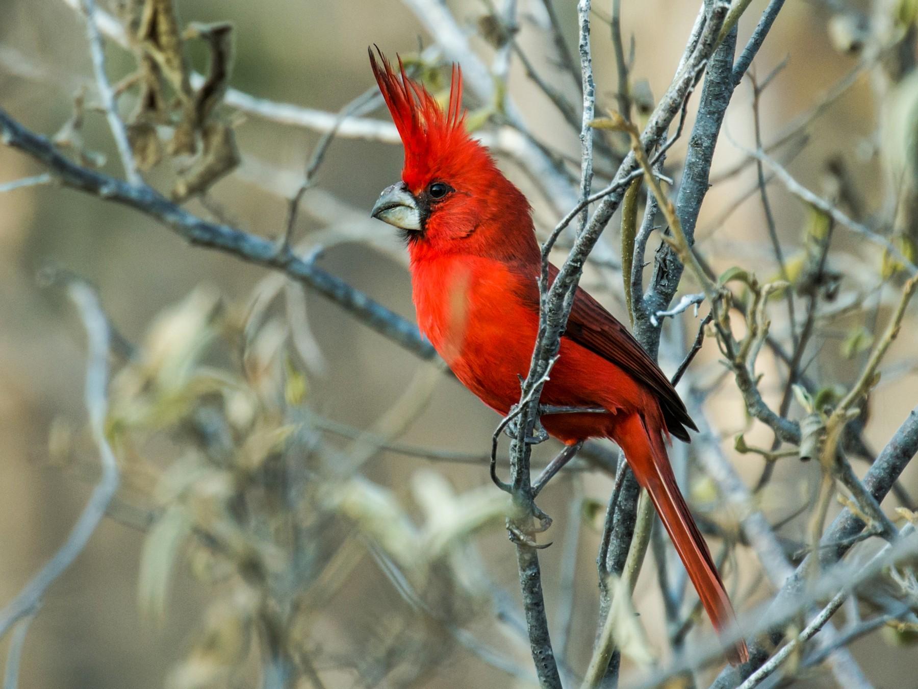 Vermilion Cardinal - Nick Athanas