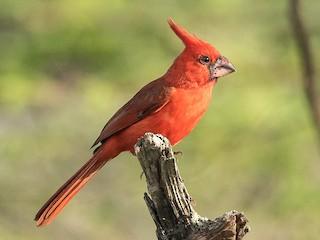 - Vermilion Cardinal