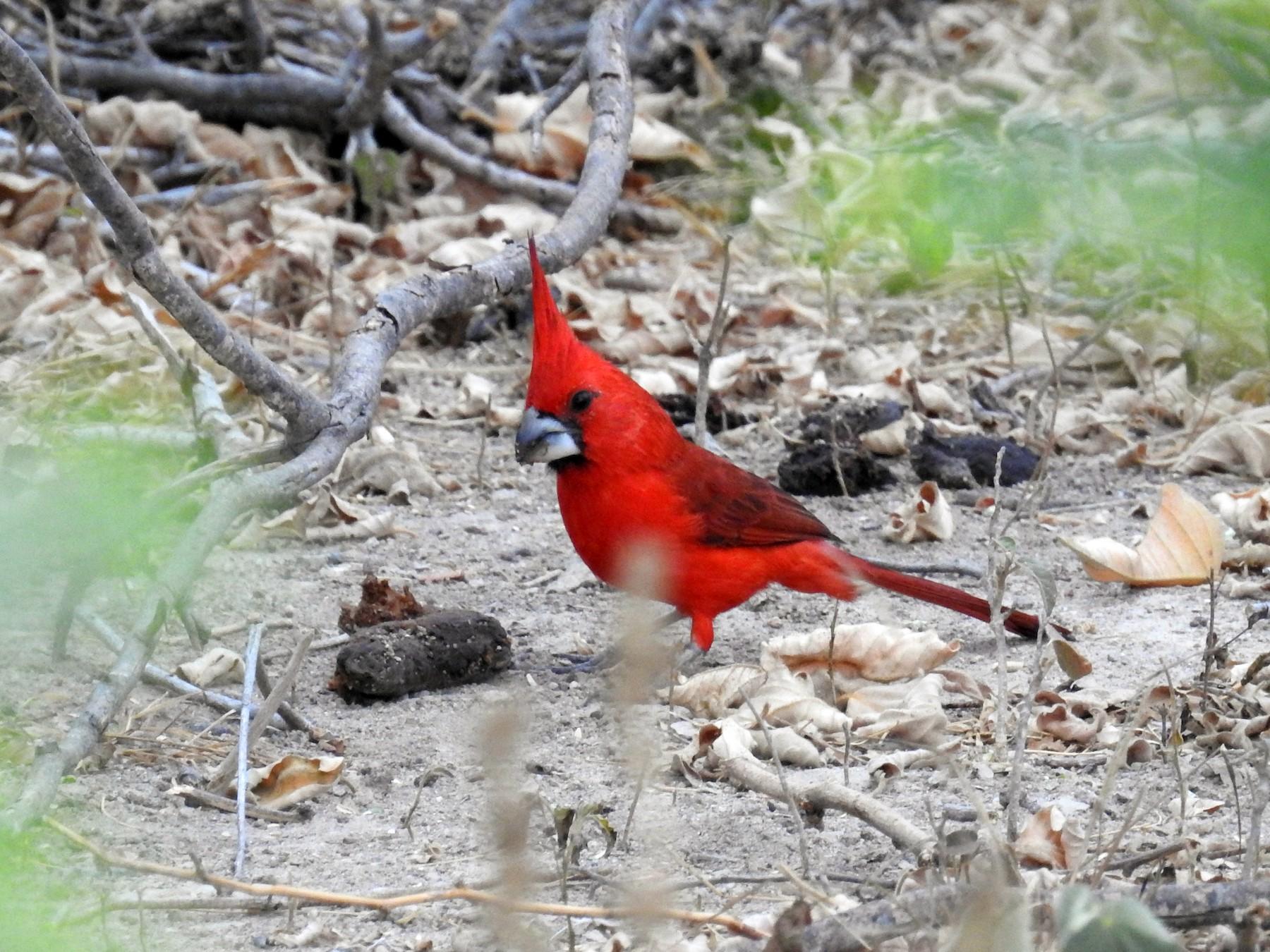 Vermilion Cardinal - Heidi Ware Carlisle